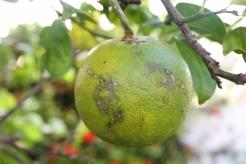 Cuban Lime