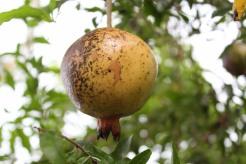 Cuban Pomegranate