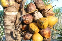 Glenda Coconuts